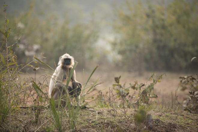 Northern plains Grey Langur sits in open plains in Ranthambore National Park, India