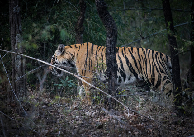 Male Bengal Tiger walks off into the forest, Bandhavgarh, India
