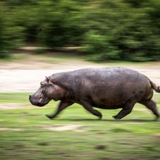 Charging hippo's of Chobe, Botswana