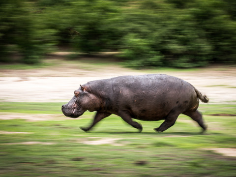 Charging Hippo, Vic Falls - Chobe - Okavango Delta Photo Workshop/Safari