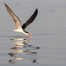 The African Skimmer, Chobe, Botswana