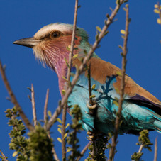 The Lilac Breasted Roller (kudu africa T