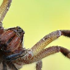 The Wandering Spider of Tambopata, Peru