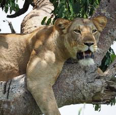Lioness In tree, Queen Elizabeth National Park, Uganda