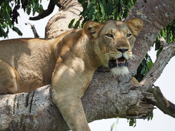 Tree Lions of Queen Elizabeth, Uganda Wildlife Photography Workshop/Safari