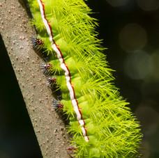 The Io Moth Caterpillar, Tambopata, Peru