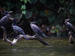 Neotropical Cormorants, Amazon Rainforest Photography Workshop/Tour