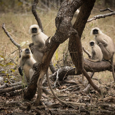 Northern Plains Grey Langurs, Bandhavgarh, India