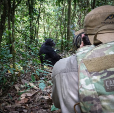 Getting close to a Chimpanzee, Kibale National Park, Uganda