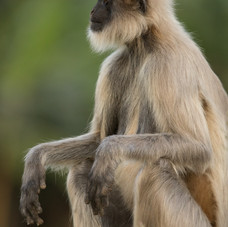 Northern Plains Grey Langur, Bandhavgarh, India