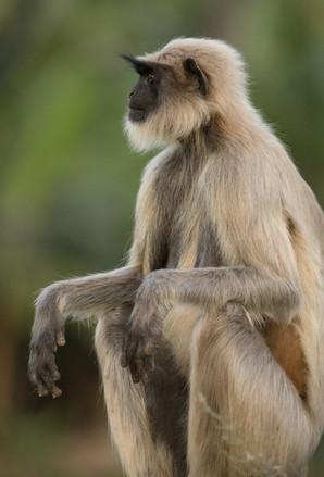 Northern Plains Grey Langur, Bandhavgarh, India