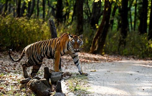 no-logos tiger.jpg