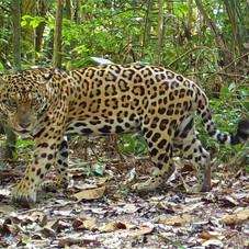Jaguar (Panthera onca), Tambopata, Peru