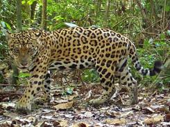 Jaguar, Taylor Made Private Photography Tour