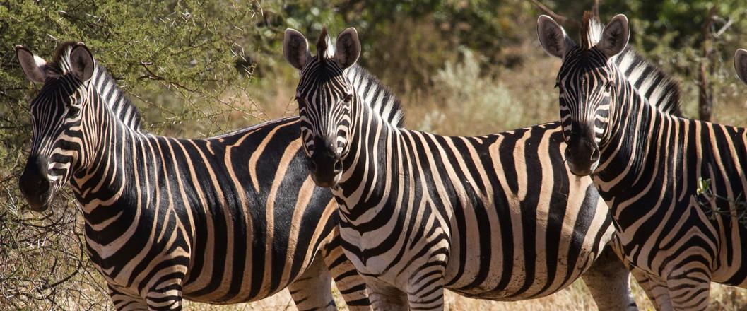 Zebra at the Watering Hole, Botswana