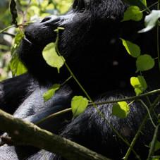Male Mountain Gorilla, Buindi National Park, Uganda