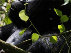 Male Mountain Gorilla, Uganda Wildlife Photography Workshop/Safari