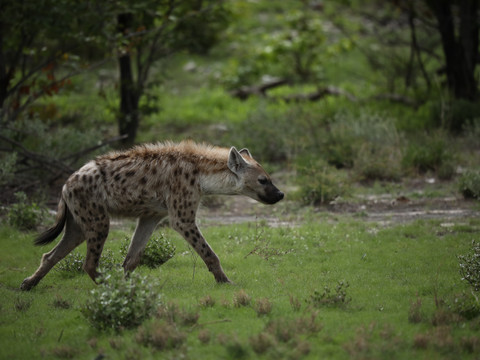 Spotted Hyena, African Wildlife Photography Workshop/Safari, Chobe, Botswana