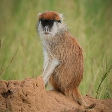 patas monkey, Queen Elizabeth National Park, Uganda