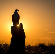 Fishing Eagle, Botswana