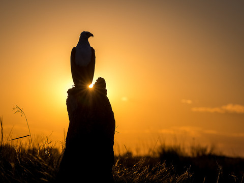 Fishing eagle, African Wildlife Photography Workshop/Safari, Chobe, Botswana