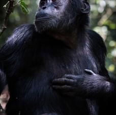Chimpanzee,Kibale National Park, Uganda