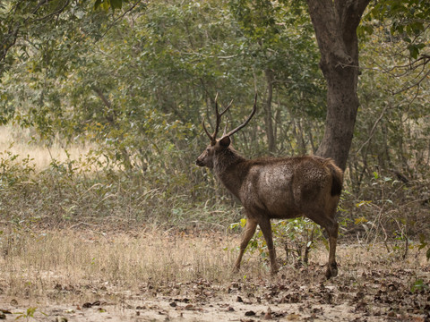 Sambar Deer, Indian Wildlife Photography Workshop/Safari