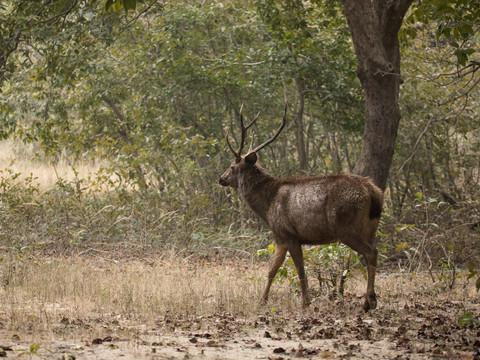 Sambar Deer, Indian Wildlife Photography Workshop/Safari