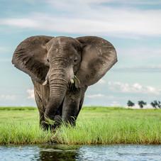 African Bull Elephant, Chobe, Botswana
