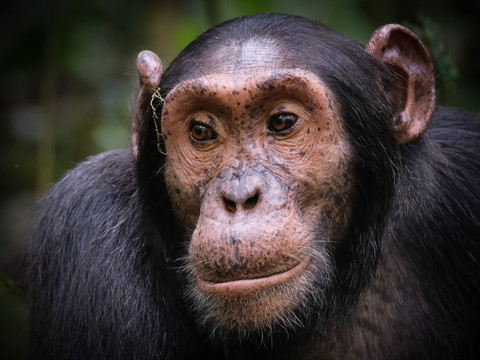 The Chimpanzee, Kibale National Park, Uganda Wildlife Photography Workshop/Safari