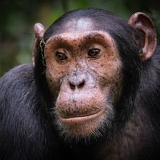 Wild Chimpanzee, Kibale National Park, U