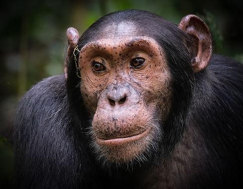Wild Chimpanzee, Kibale National Park, Uganda
