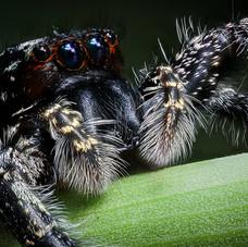 Jumping Spider, Las Piedras River, Peru