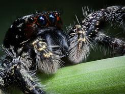 Jumping Spider, Amazon Rainforest Macro Photography Workshop/Tour