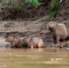 Capibara Family (Hydrochoerus hydrochaer)