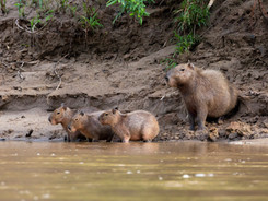 Capibara Family, Amazon Rainforest Photography Workshop/Tour
