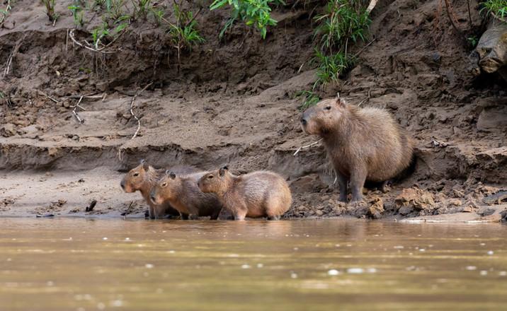 Capybara Family - Amazon Rainforest, Peru