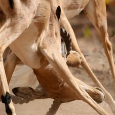 Rutting Impala (Aepyceros melampus) Bots