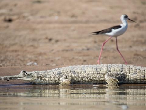 Gharial & Stilt of Chambal River, Indian Wildlife Photography Workshop/Safari