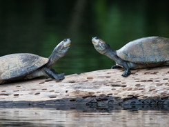 Yellow Spotted River Turtles, Amazon Rainforest Photography Workshop/Tour