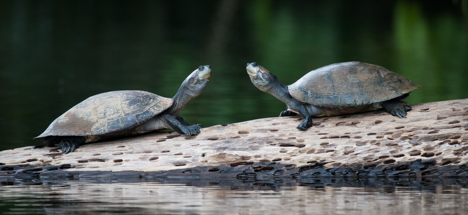 Sun Bathing Turtles - Amazon Rainforest, Peru