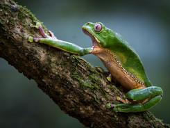 Giant Waxy Monkey Tree Frog, Amazon Rainforest Photography Workshop/Tour