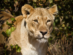 African Lion, African Wildlife Photography Workshop/Safari, Chobe, Botswana