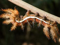 Punk Caterpillar, Amazon Rainforest Macro Photography Workshop/Tour
