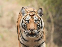 Bengal Tiger, Tiger Photography Workshop/Safari