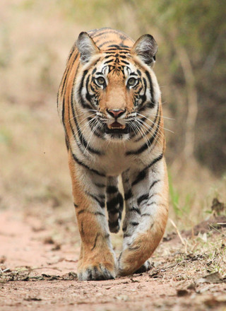 Our photography guests capture great photographs as a large male Tiger approaches, Bandhavgarh, India