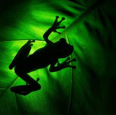 Gladiator Tree Frog (Hypsiboas rosenberg)