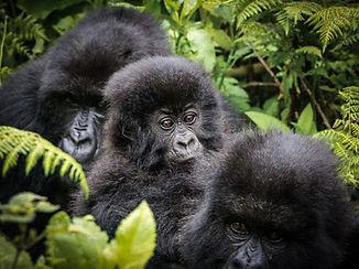 Mountain Gorillas, Bwindi