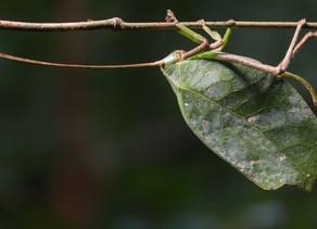 Walking Leaves