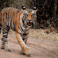 The Bengal Tiger on his morning stroll, Bandhavgarh, India